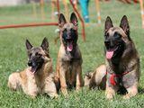 Собаки на послушании - Обидиенс, ОКД, Танцы с собаками